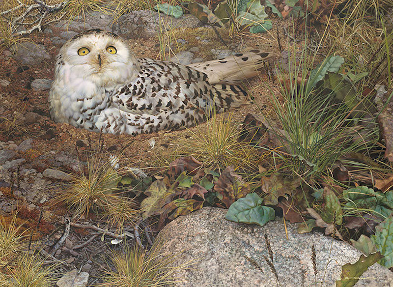 Carl Brenders Phantom of the North Snowy Owl