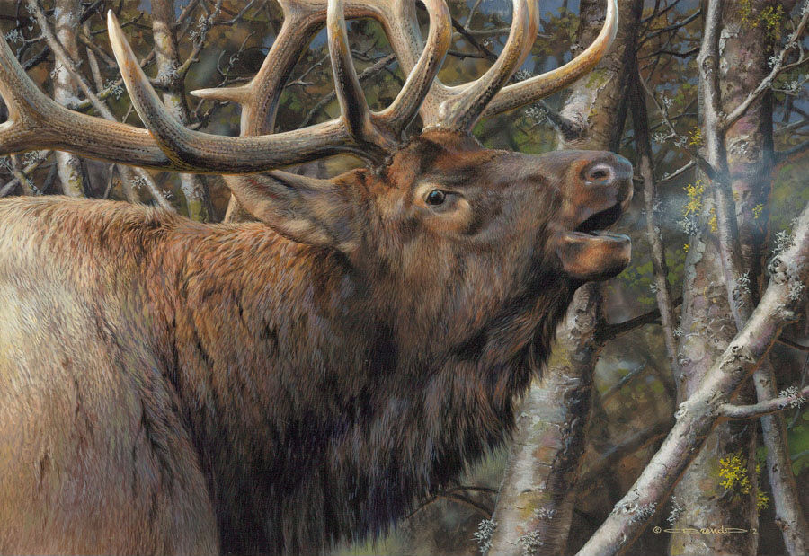 Carl Brenders Mating Call Bugling Elk