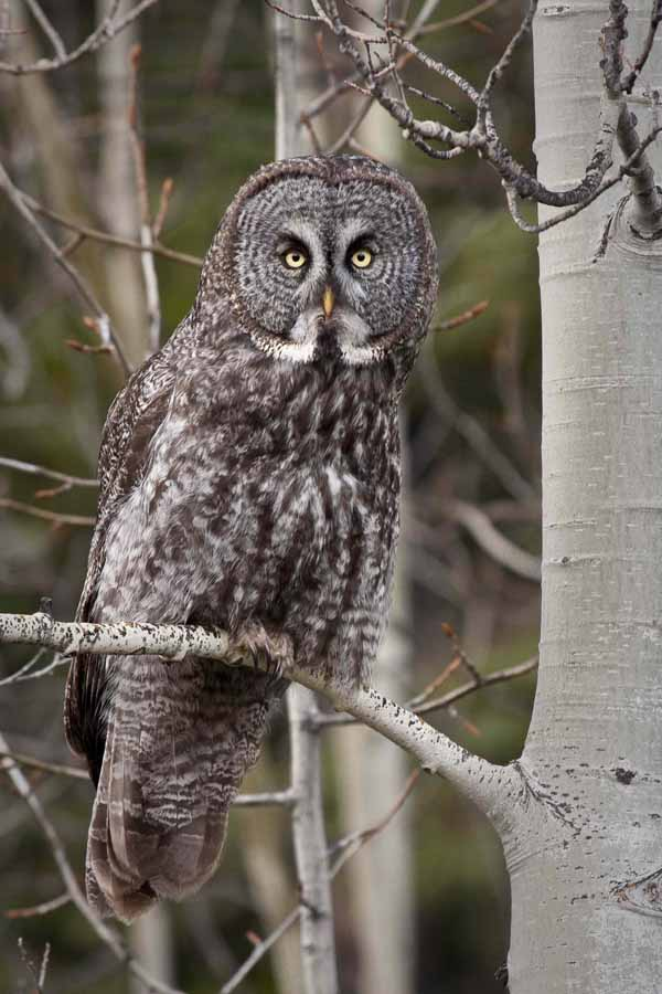 Angelo Avlonitis Great Gray Owl