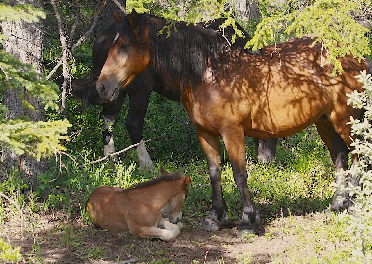 Angelo Avlonitis Bragg Creek Wild Horses Mare and Foal