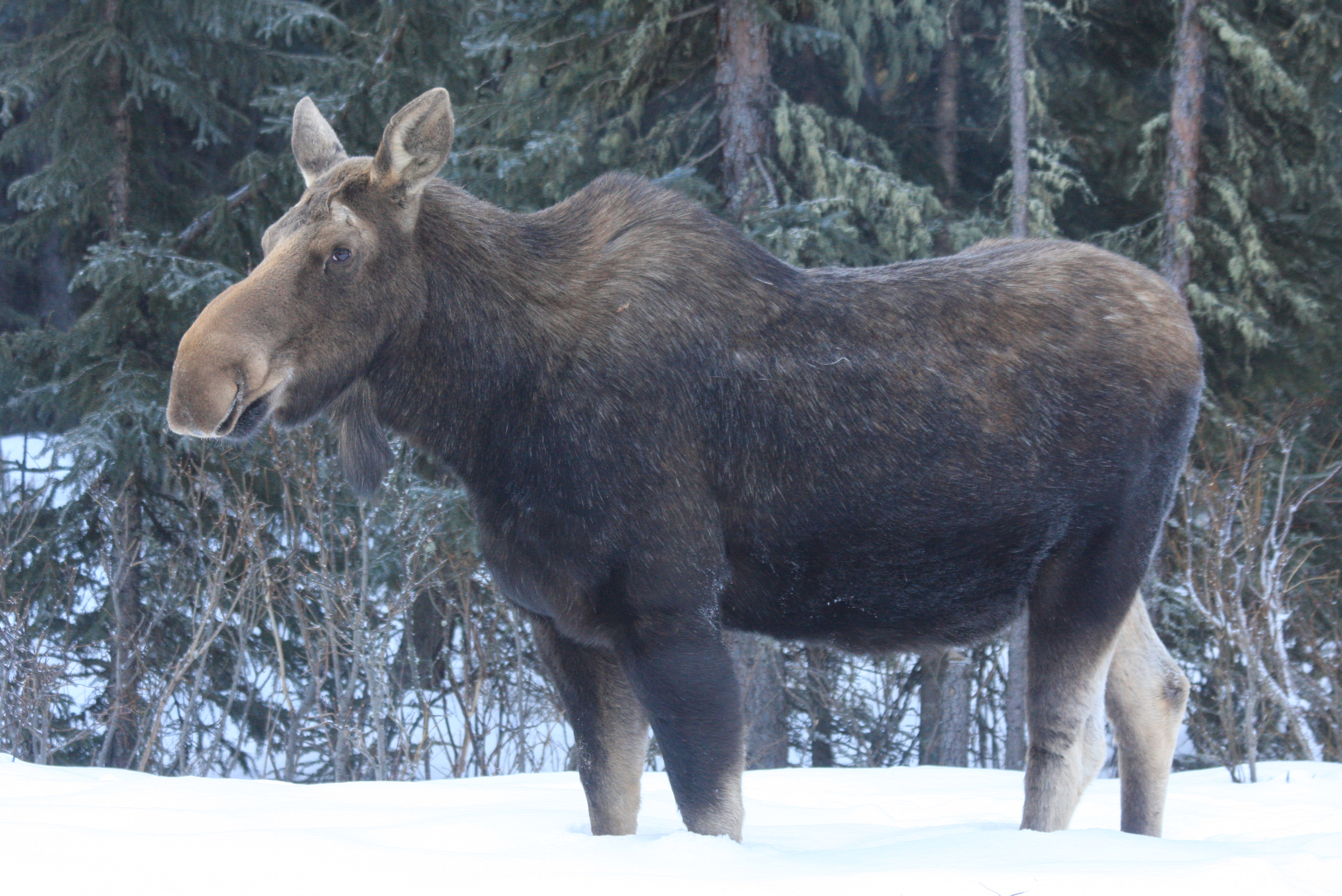 a0da16897d avlonitis-moose-back-yard-feb-2011.jpg ...