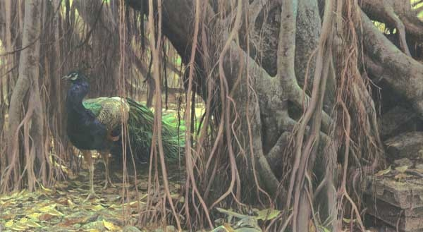 Robert Bateman Banyan Walk Original Painting