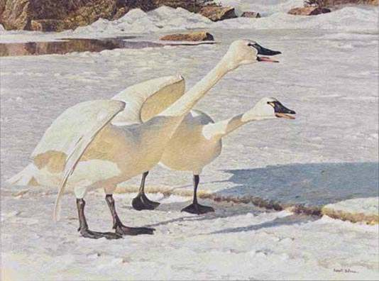Robert Bateman Courting Pair Whistling Swan