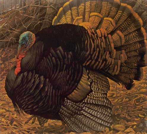 Robert bateman Courtship Display Turkey