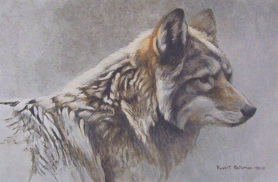 Robert bateman Coyote Head Study