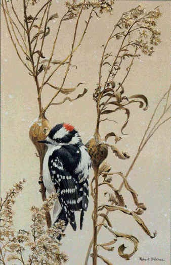 Robert Bateman Downy Woodpecker on Goldenrod