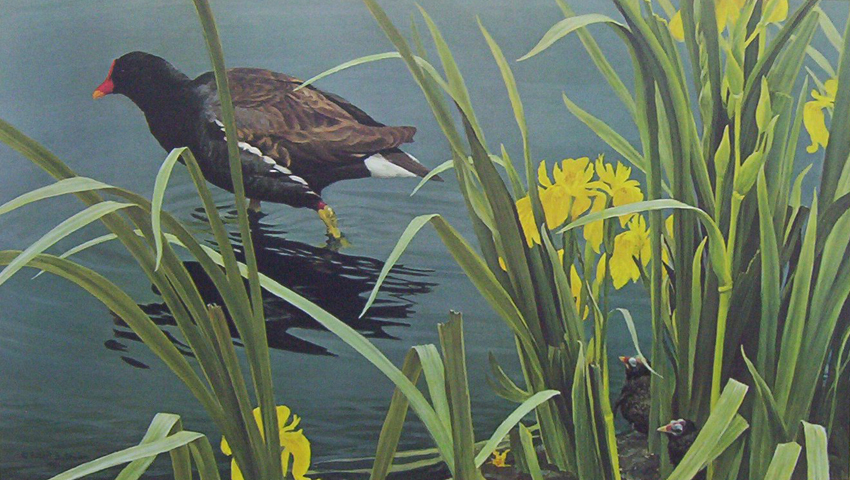 Robert Bateman Gallinule family