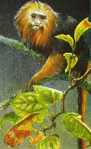 Robert Bateman Golden-Headed Lion Tamarin