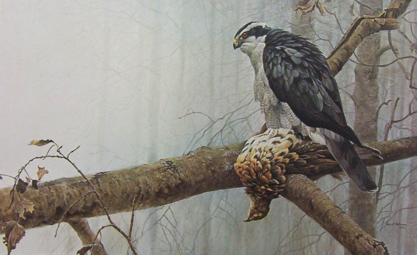 Robert Bateman Goshawk and Ruffed Grouse