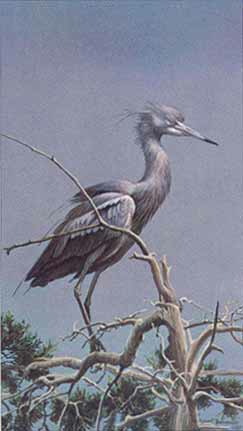 Robert Bateman Little Blue Heron