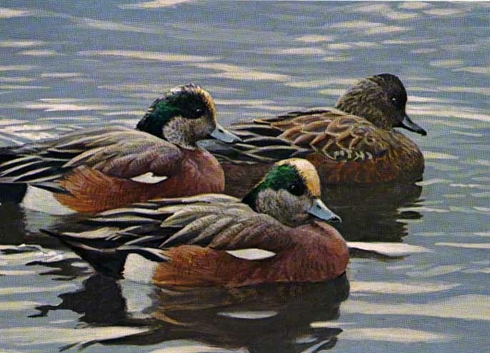 Robert bateman Peaceful Flock American Widgeon