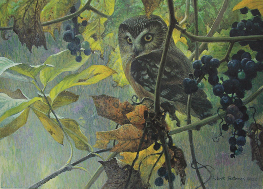 Robert Bateman Saw-whet Owl and Wild Grapes