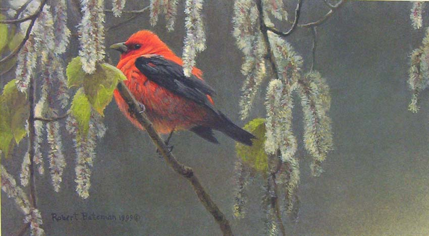 Robert Bateman Scarlet Tanager and Alder Blossom