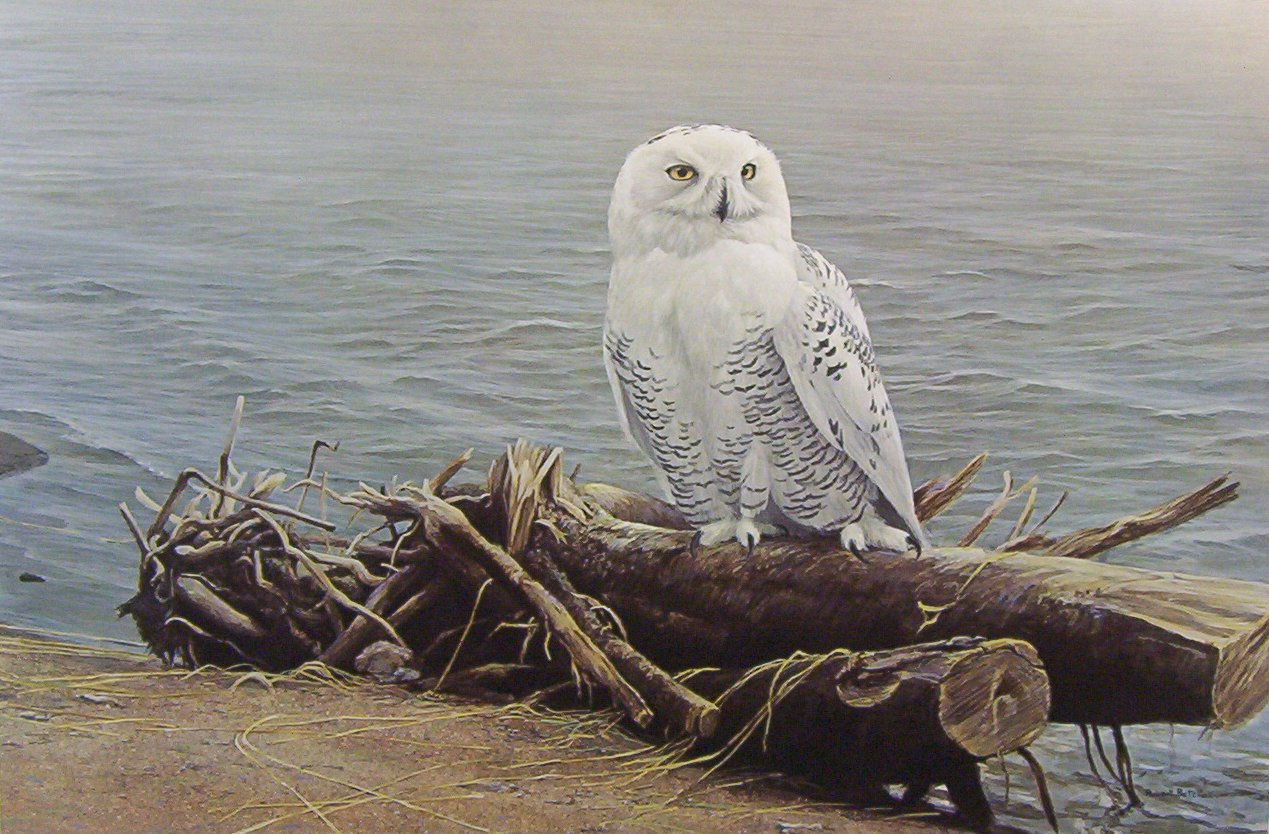 Robert Bateman Snowy Owl on Driftwood