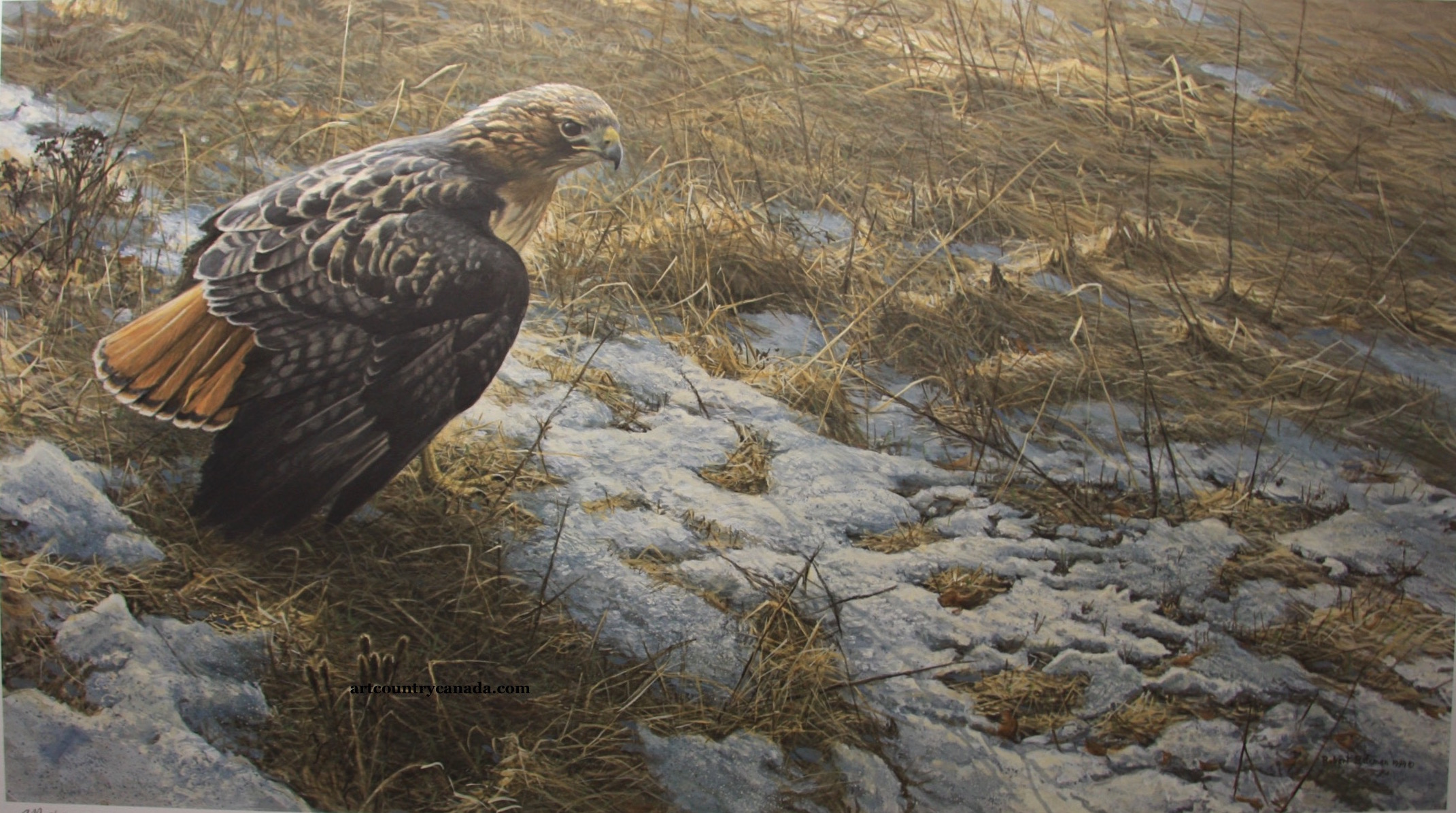 Robert Bateman Spring Thaw Red-Tailed Hawk