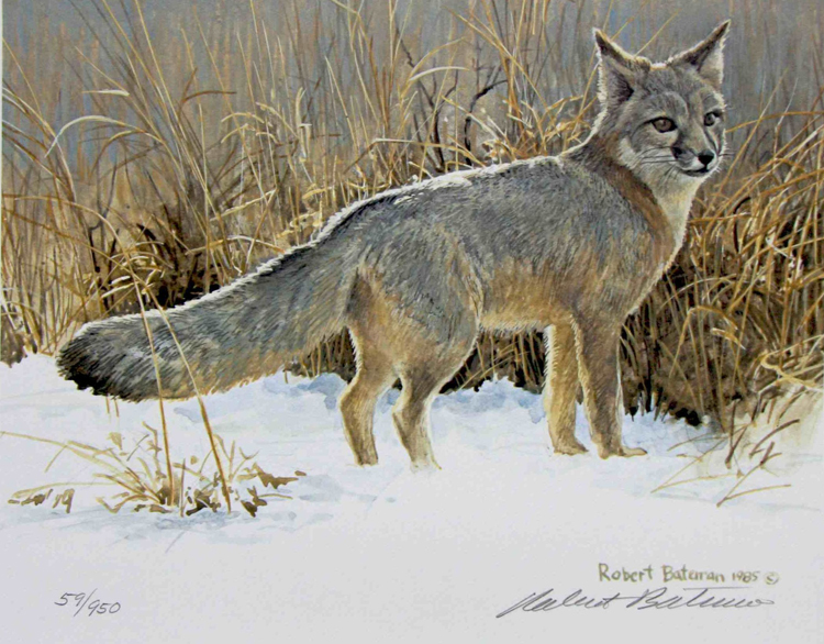 Robert Bateman Swift Fox Study