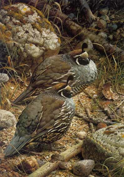Carl Brenders California Quail