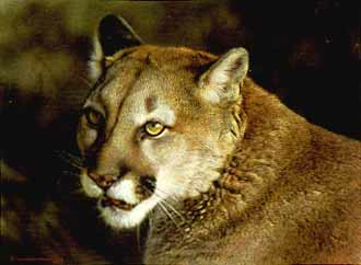 Carl Brenders Close Up Cougar