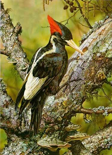 white billed woodpecker