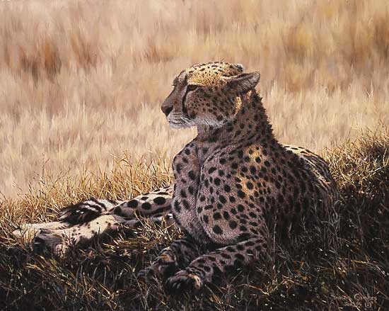 Simon Combes cheetah used to illustrate disdain