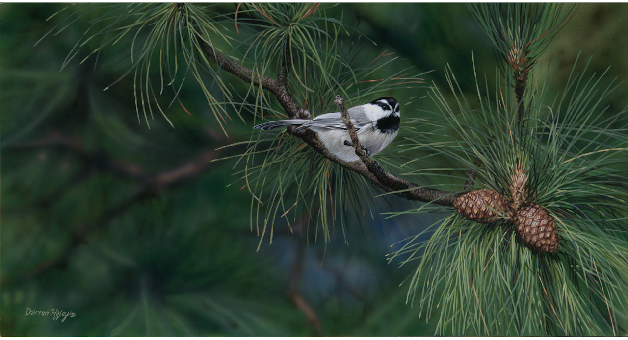 Darren Haley - Bragg Creek Winter Chickadee