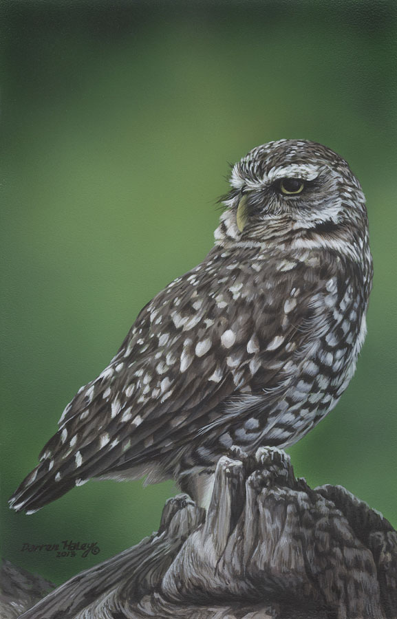 Darren Haley Burrowing Owl