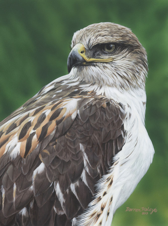 Darren Haley Ferruginous Hawk