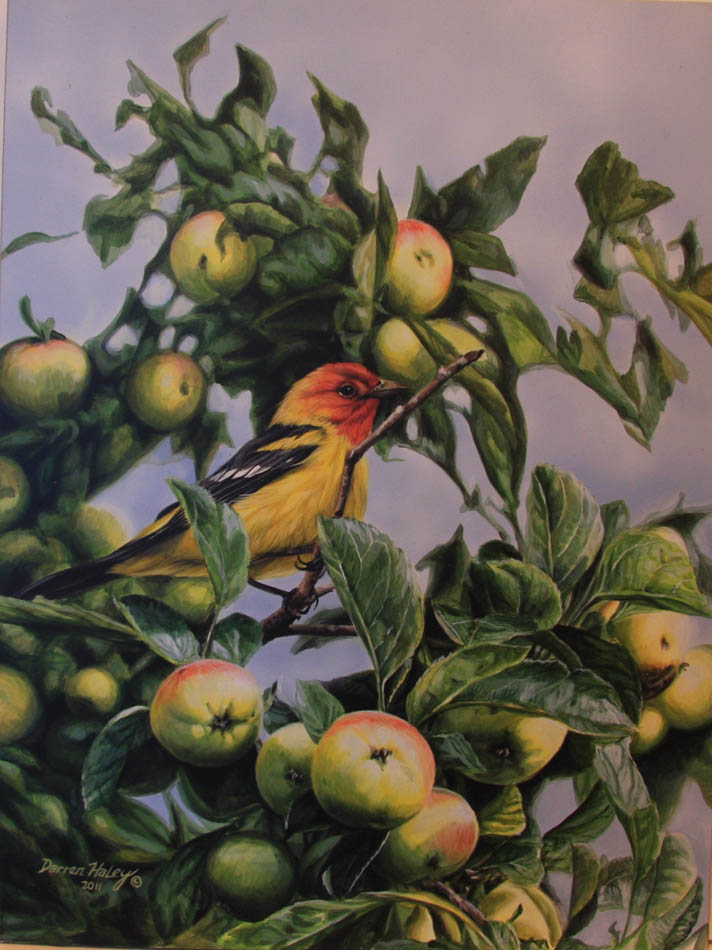 Darren Haley Western Tanager