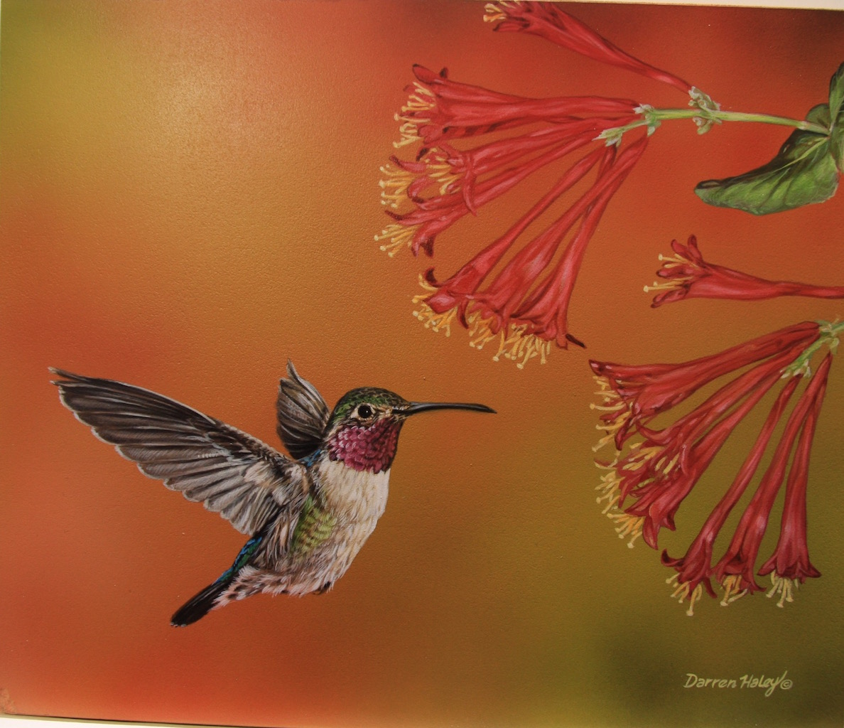 Darren Haley Ruby Throated Hummingbird