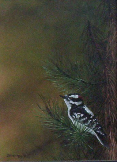 Darren Haley - Downy Woodpecker
