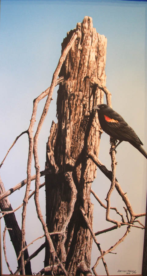 Darren Haley Red-winged Blackbird