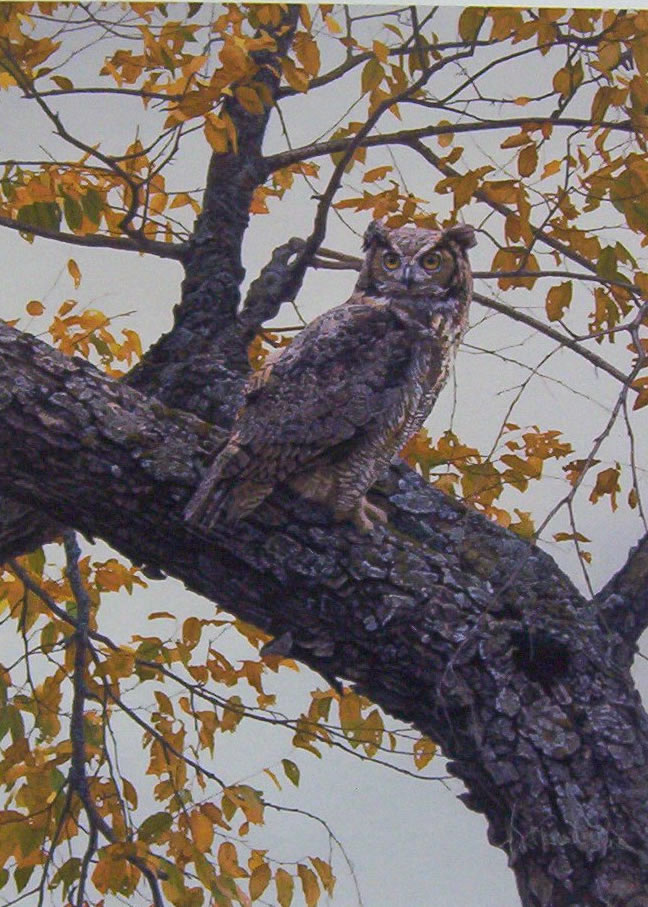 Brent Townsend - Tree Top-Great Horned Owl